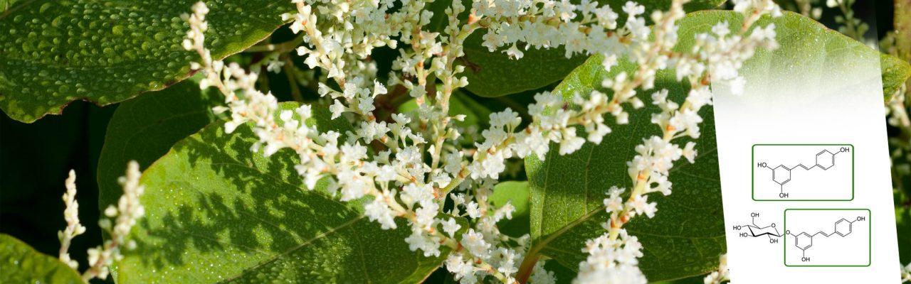 Polidatina, il resveratrolo biodisponibile